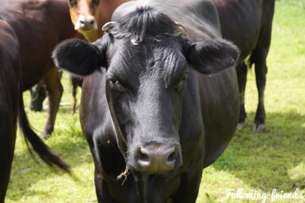 Cow Following-friends Blog