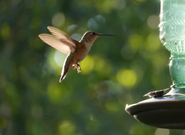 Hummingbird closeup still