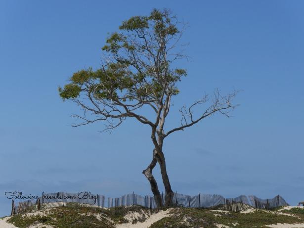 Carpenteria Beach Tree