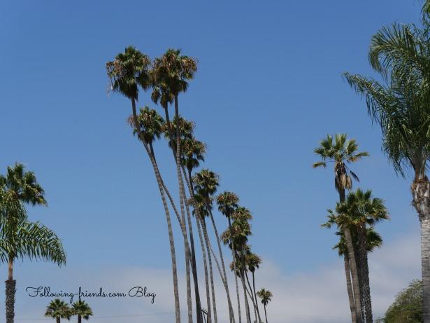 Carpenteria Palm Trees